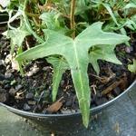 Hedera helix Sagitiifolia (2)