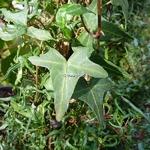 Hedera helix Sagitiifolia (3)