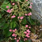 Schizophragma hydrangeoides Rose Sensation