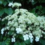 Hydrangea anomala petiolaris (2)