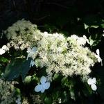 Hydrangea anomala petiolaris (4)