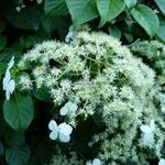 Hydrangea anomala petiolaris (3)