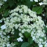 Hydrangea anomala petiolaris (5)