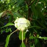 Hydrangea serratifolia (6)
