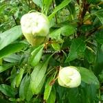Hydrangea serratifolia (1)