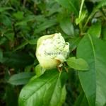 Hydrangea serratifolia (2)