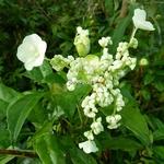 Hydrangea serratifolia (3)
