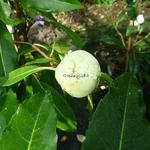 Hydrangea serratifolia (5)