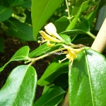 Lonicera henryi Copper Beauty (2)