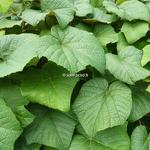 Vitis coignetiae (1)
