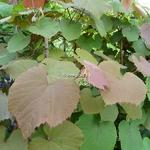Vitis coignetiae Claret Cloak (2)