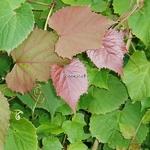 Vitis coignetiae Claret Cloak
