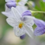 Solanum laxum (1)