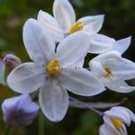Solanum laxum (2)