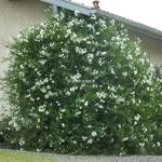 Solanum laxum Album (4)