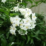 Solanum laxum Album (5)