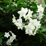 Solanum laxum Album (7)