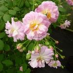 Rosa Parfum dEvita (4)