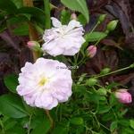 Rosa Parfum dEvita (2)