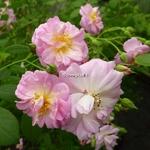 Rosa Parfum dEvita (3)