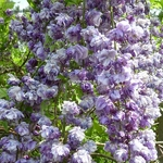 Wisteria floribunda Violacea Plena (2)