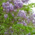 Wisteria sinensis (3)