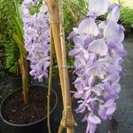 Wisteria sinensis (4)