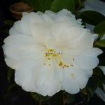 Camellia japonica Angel (1)