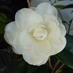 Camellia japonica Angel (3)
