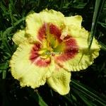 Hemerocallis Monterey Jack (1)