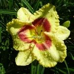 Hemerocallis Monterey Jack (2)
