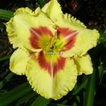 Hemerocallis Monterey Jack