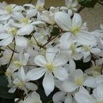 Clematis armandii (2)