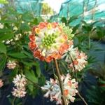 Edgeworthia chrysantha Red Dragon (3)