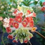 Edgeworthia chrysantha Red Dragon (4)