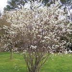 Amelanchier canadensis (3)
