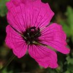 Geranium cinereum Giuseppii
