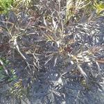 Sambucus nigra Black Lace (2)