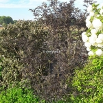 Sambucus nigra Black Lace (1)