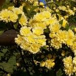 Rosa banksiae Lutea (1)