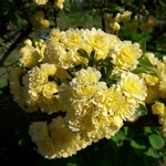 Rosa banksiae Lutea (2)