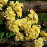 Rosa banksiae Lutea (3)