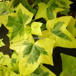 Hedera helix Yellow Ripple (2)