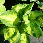 Hosta Georgia Sweet Heart