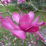 Magnolia Vulcan (15)
