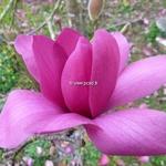 Magnolia Vulcan (19)