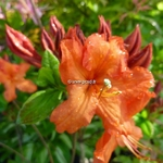 Rhododendron Hotspur Red (2)