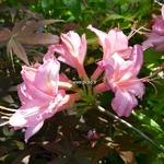 Rhododendron Jolie Madame (2)
