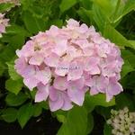 Hydrangea macrophylla Belle Séduction (2)
