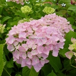Hydrangea macrophylla Belle Séduction (3)